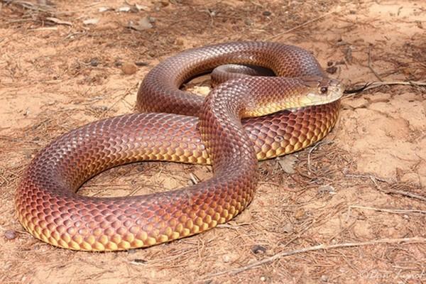 Pseudechis-australis