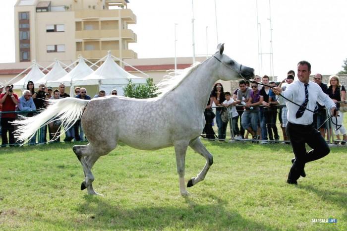 Palermo Arabian Horses Cup 2016 marsala live