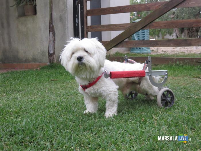Murphy il cane che cammina con le rotelle