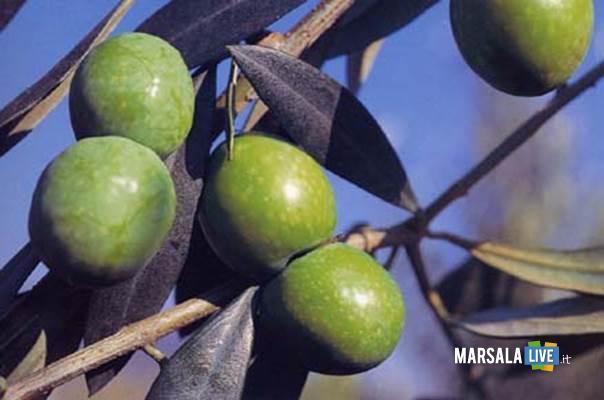 olive-nocellara-campobello