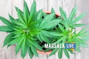 Cannabis-pianta marjiuana-marsala