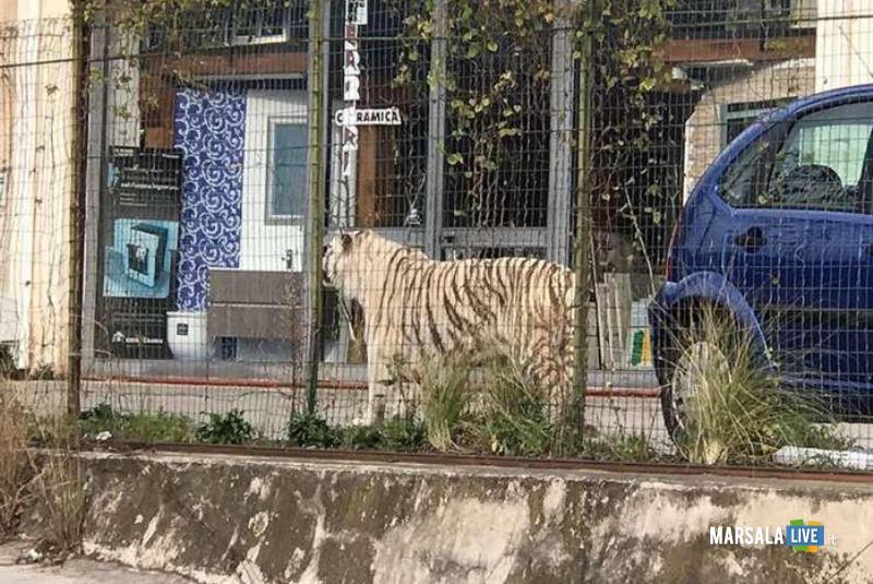 Tigre-Bianca-Circo-Svezia-Monreale-Palermo (1)
