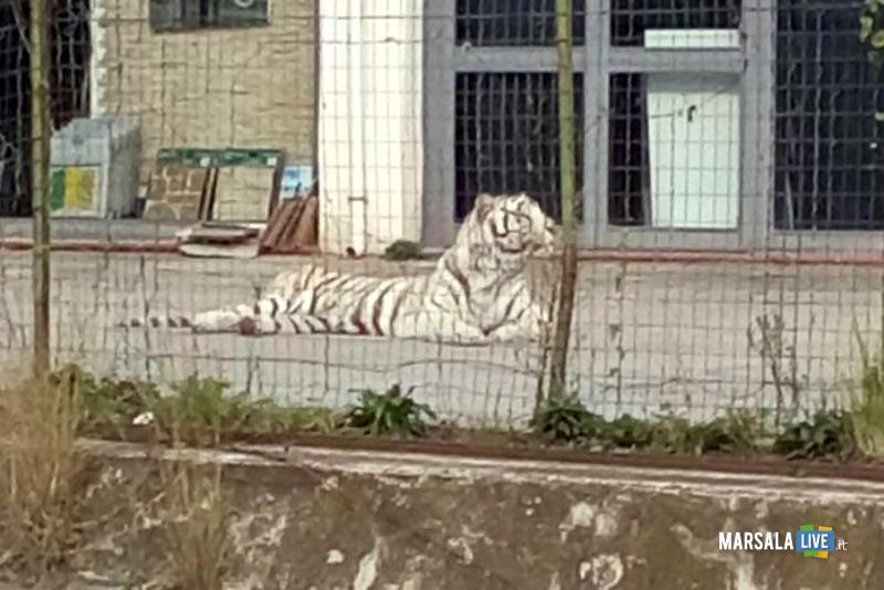 Tigre-Bianca-Circo-Svezia-Monreale-Palermo (2)