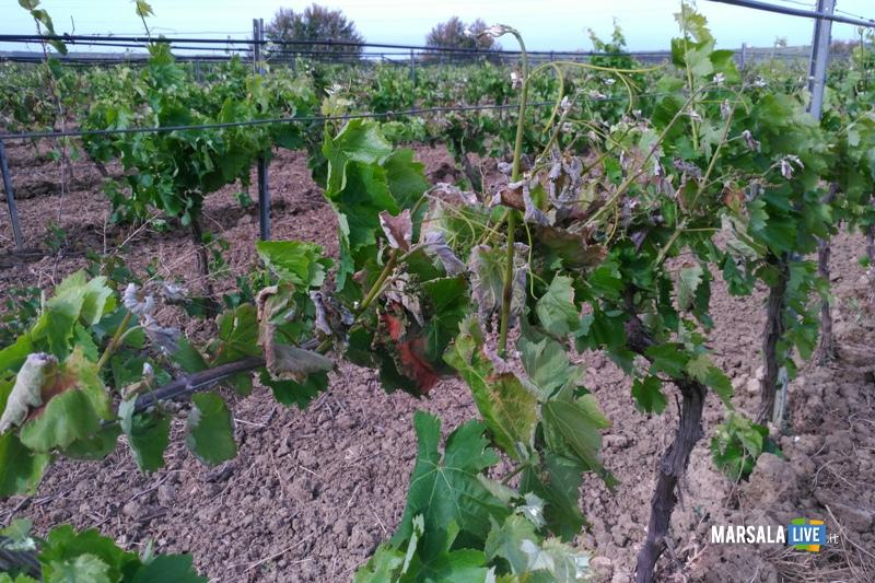 gelata-fine-aprile-marsala-mazara-petrosino-vigneti-uva (2)