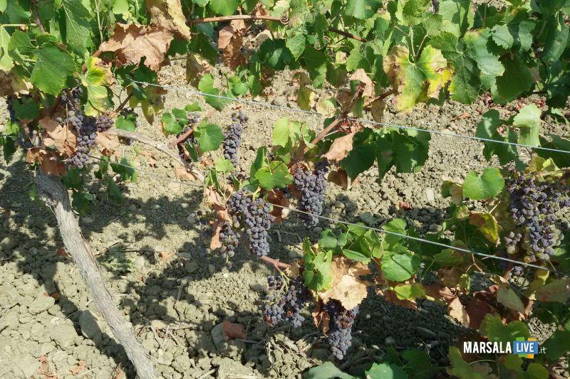 vigneto-siccità-uva