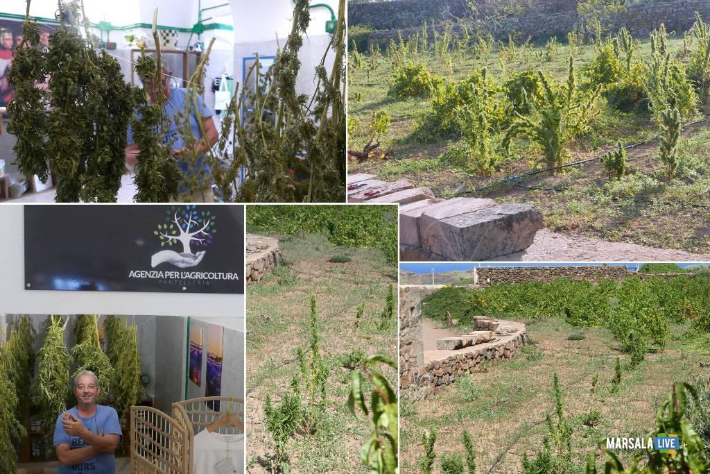 Marijuana, vite ad alberello, cappero. Pantelleria e la nuova agricoltura