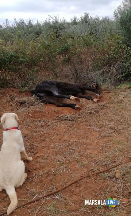 Cane trova cavallo morto a Castelvetrano