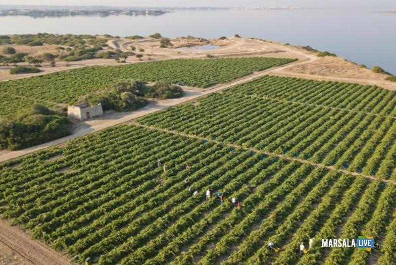 La vendemmia delle uve Grillo sull'isola di Mozia (foto Benedetto Tarantino)
